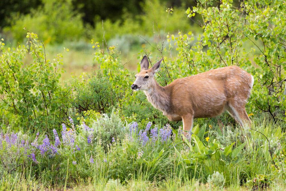 Mule Deer in Wildflowers