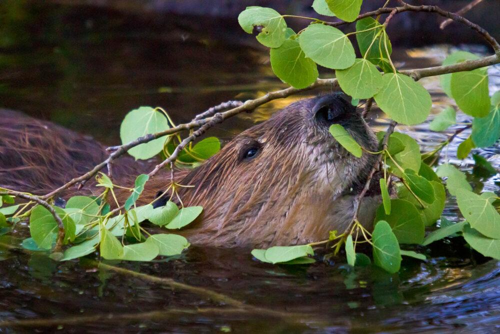 Beaver Eating on Aspen Branch